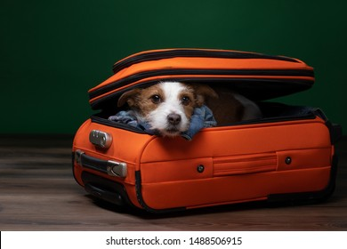 Dog Travel. Funny jack russell terrier in a suitcase. Pet adventure