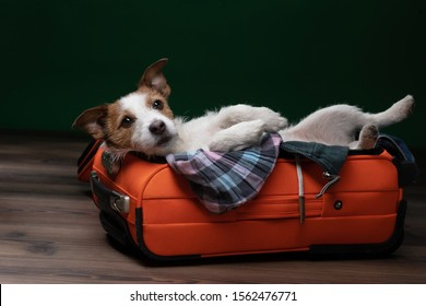 dog travel. Jack Russell Terrier is lying and playing in a suitcase. collect things