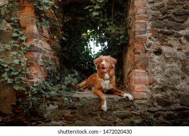 dog traveler. red Nova Scotia Duck Tolling Retriever in the castle ruins.