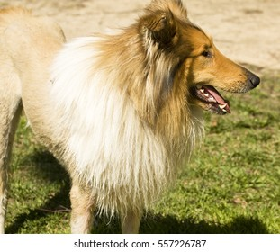 Dog type Collie standing outdoors on grass half profile.