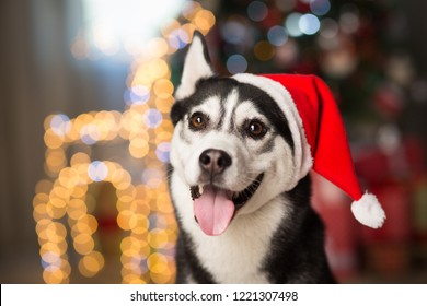 dog under the christmas tree at home, Husky breed