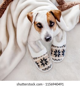 Dog under a plaid. Pet warms under a blanket in cold autumn weather. Puppy in slippers