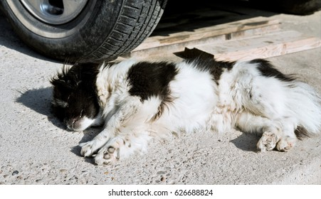 Dog under the wheels of a car