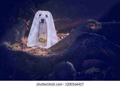 Dog under white blanket costume of cute ghost holding Halloween Jack-o-lantern carved pumpkin on nose