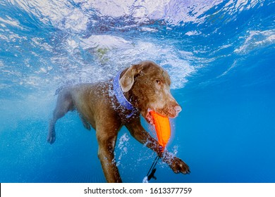 Dog underwater diving and fetching it's toy.