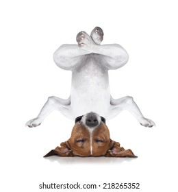 dog upside down relaxing with closed eyes doing yoga and balancing, isolated on white background