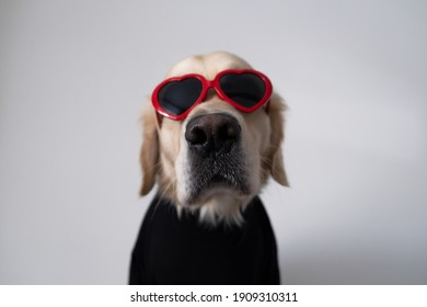 Dog for valentine's day. Golden retriever in red glasses with hearts and a black turtleneck sits on a white background.