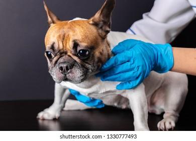 dog at the vet reception, french bulldog