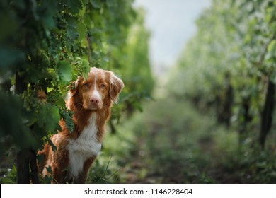 dog in a vineyard in nature. A pet in the summer, Nova Scotia Duck Tolling Retriever