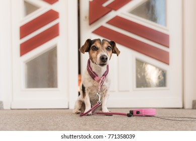dog waiting in front of door, ready for a walk - Jack Russell Terrier