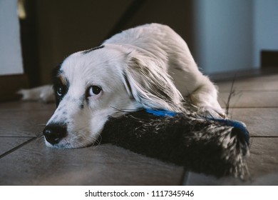 Dog is waiting for her owner to play