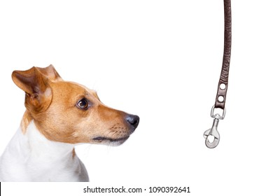 dog waiting for owner to play  and go for a walk with leash, isolated on white background
