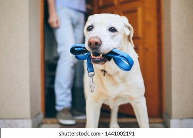 Dog waiting for walk with his owner. Labrador retriever standing with leash in mouth against door of house.