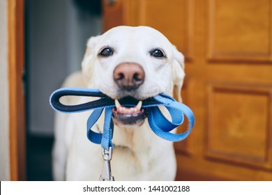 Dog waiting for walk. Labrador retriever standing with leash in mouth against door of house.