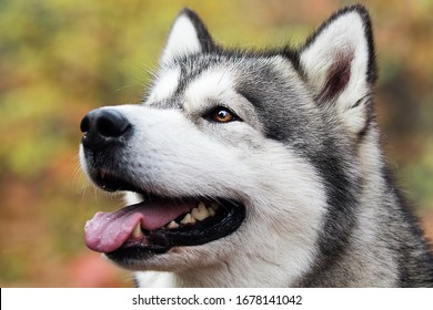 dog for a walk in the summer park, breed Alaskan Malamute