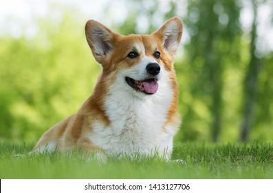 dog for a walk, welsh corgi breed