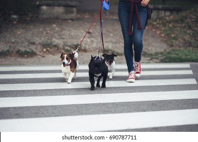 Dog walker crossing a street with dogs.