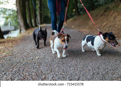 Dog walker with dogs enjoying in park. Selective focus on dog in middle.