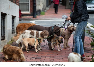 Dog walker with eight dogs on leashes. Location: Beacon Hill, Boston