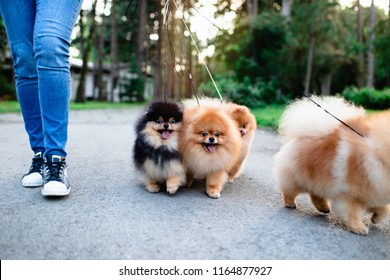 Dog walker enjoying with Pomeranian dogs in park.