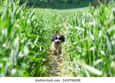 Dog Walker in Green Summer Field with Cockapoo.