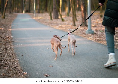 Dog walker with two dogs on leads in the park in autumn. Dogs are seen from the back and only part of the person is seen in the frame.