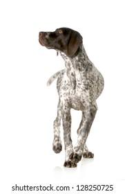 dog walking - german shorthaired pointer walking isolated on white background