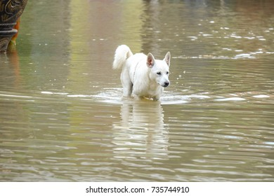 Dog walking inthe water at flood area
