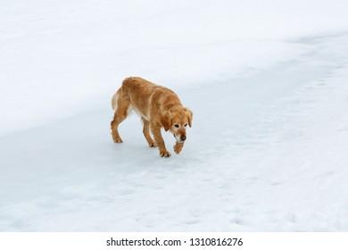 Dog walking on ice in the lagoon of Las Verdes glacier origin, Torre de Babia, Leon, Spain.
