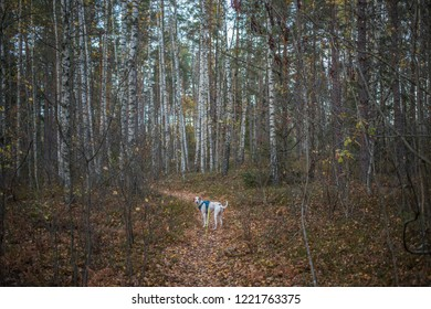 Dog walking on a path in the Scandinavian afternoon autumn forest.