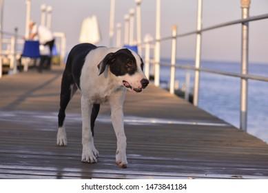 A dog walking on sea wharf.