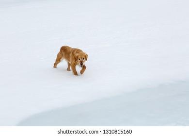 Dog walking on snow and ice in Las Verdes glacier lagoon, Torre de Babia, Leon, Spain.