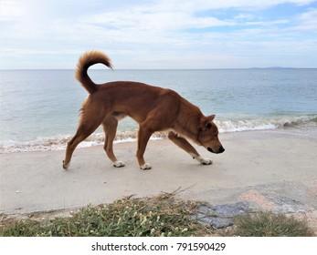Dog walking the seashore