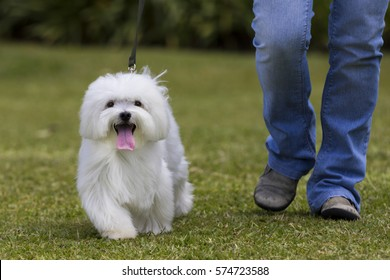 Dog walking / White Maltese dog walking in the garden with owner