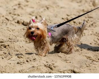 A dog walks on the sand along the beach on the beach.