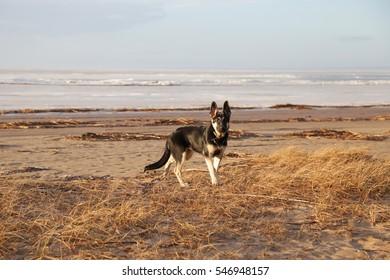 dog walks without a leash