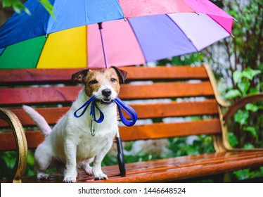 Dog wants to go for walk sitting on bench under colorful umbrella during rain