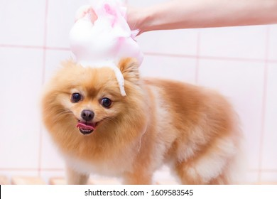 dog is washed in the pet salon. dog in foamy soapy. groomer concept.