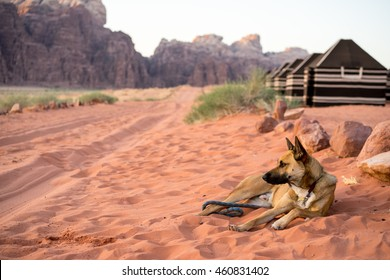 Dog watches over Bedouin camp at sunrise in Wadi Rum, Jordan.