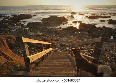Dog watching sunset on the Big Sur coastline of California