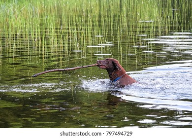 A dog in the water bringing back a large stick