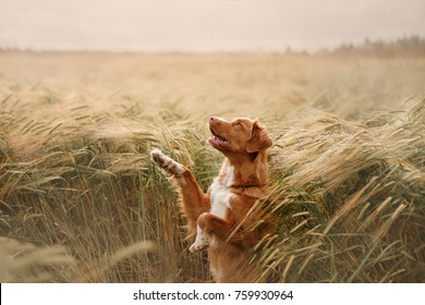 the dog waves his paw in a field of wheat. breed Nova Scotia Duck Tolling Retriever, Toller