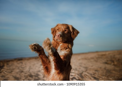 The dog waves his paw. Nova Scotia Duck Tolling Retriever, Toller. Pet on vacation