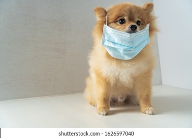 Dog wearing air pollution mask for protect dust PM2.5,Pomeranian, small breed dogs, put on a health mask sit on a white table, Concept virus, coronavirus protection.