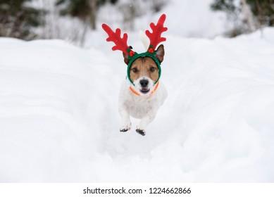 Dog wearing antlers of Christmas reindeer plays in deep snow
