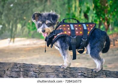 dog wearing Life jacket on the beach