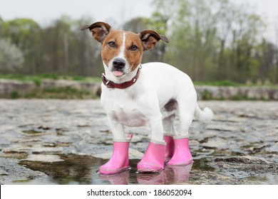 dog wearing pink rubber boots