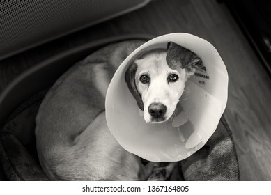 Dog wearing a protective Elizabethan collar after surgery