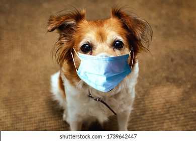 Dog wearing safety mask for protect Corona virus, covid 19 protection mask on cute brown dog, portrait pet