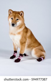 A dog is wearing socks on gray background, non-isolated
